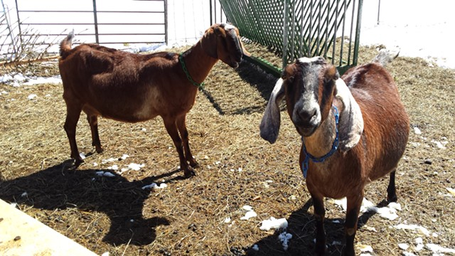 Ginger and Junebug, Big Picture Farm goats - MELISSA HASKIN