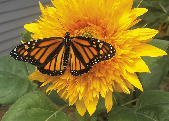 A monarch butterfly on a sunflower - COURTESY OF LAURA HILL