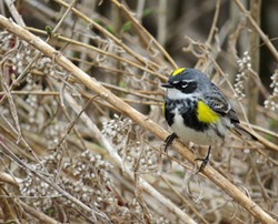 Yellow-rumped warbler - COURTESY OF SARA EISENHAUER