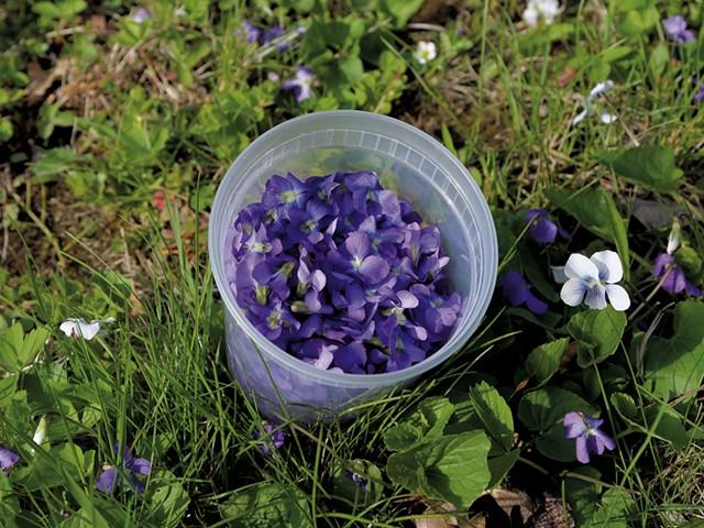 Foraging violets - JORDAN BARRY ©️ SEVEN DAYS
