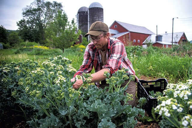 Graham Unangst-Rufenacht harvesting sea kale at the Farm Between of Sterling College in Jeffersonville - GLENN RUSSELL