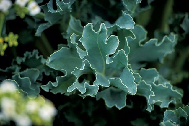 Sea kale - GLENN RUSSELL