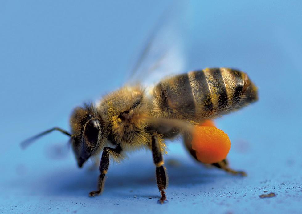 Bee carrying golden rod pollen - COURTESY OF MIKE KIERNAN