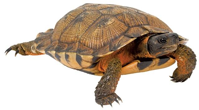 North American wood turtle - © AMWU   DREAMSTIME.COM