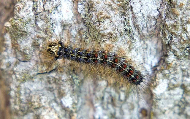 Gypsy moth caterpillar - OLIVER PARINI