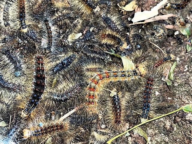 Gypsy moth caterpillars - COURTESY OF JANE SCHLOSSBERG