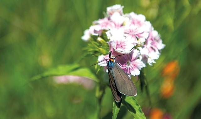 A Virginia ctenucha moth - DARIA BISHOP
