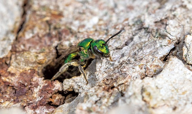 Pure green sweat bee - COURTESY OF SPENCER HARDY
