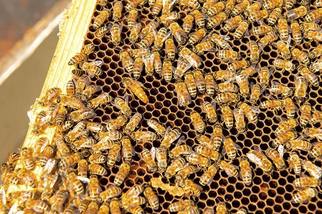 Honeybees - CALEB KENNA