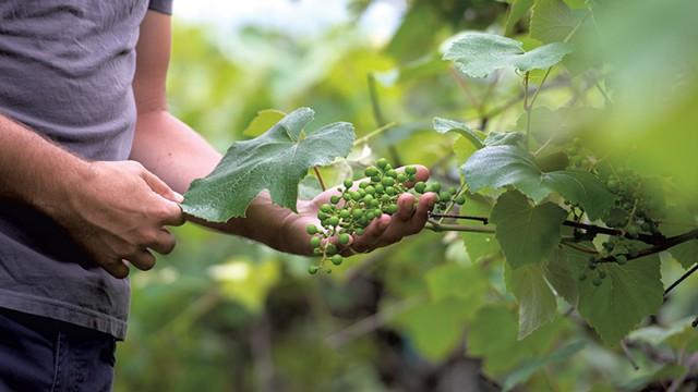 Stephen Wilson inspecting grapes in a Hinesburg vineyard - DARIA BISHOP