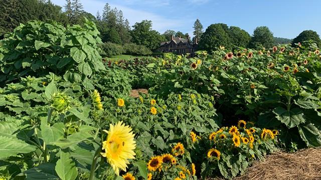 Sunflower House & Gardens at Billings Farm & Museum - COURTESY OF BILLINGS FARM & MUSEUM