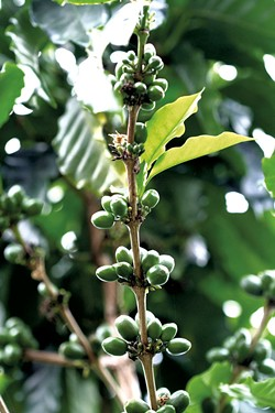 Coffee plant in Puerto Rico - SUZANNE PODHAIZER