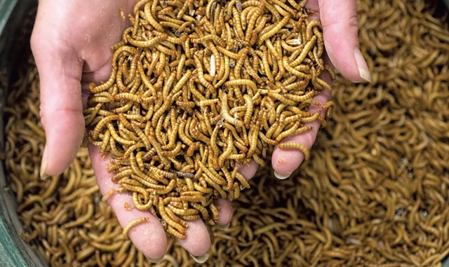 Mealworms - JEB WALLACE-BRODEUR