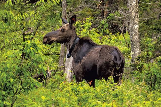Collared moose - COURTESY OF JOSH BLOUIN
