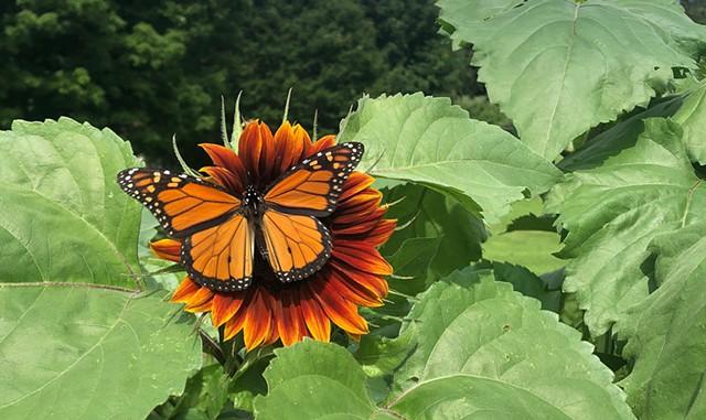 Pollination Celebration - COURTESY OF BILLINGS FARM & MUSEUM