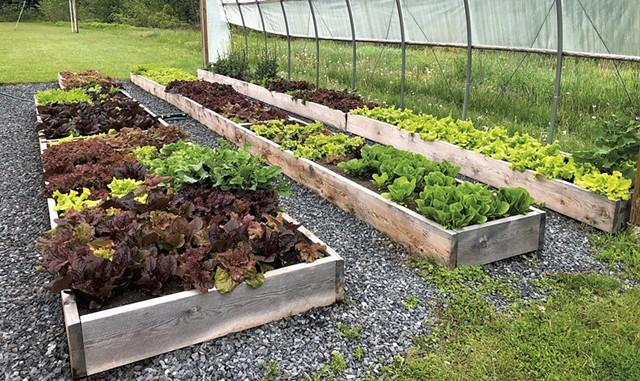 Lettuce grown by Harwood Union High School students - COURTESY OF MATT HENCHEN