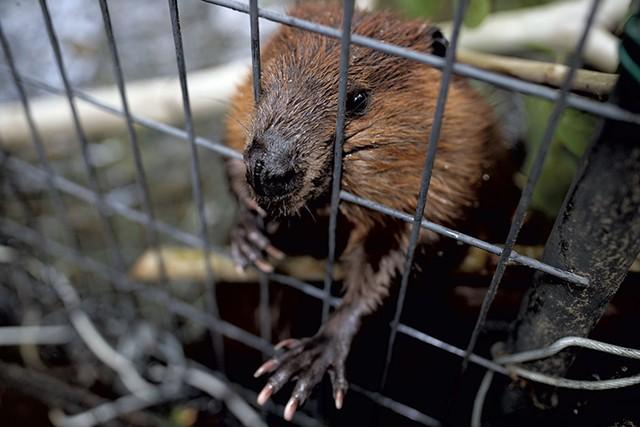 A beaver in John Aberth's care - BEN DEFLORIO