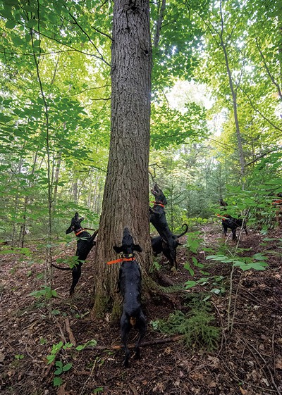 Hounds encircling a treed bear - JEB WALLACE-BRODEUR