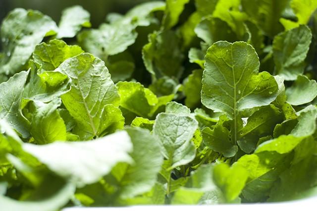 Radish greens! - HANNAH PALMER EGAN