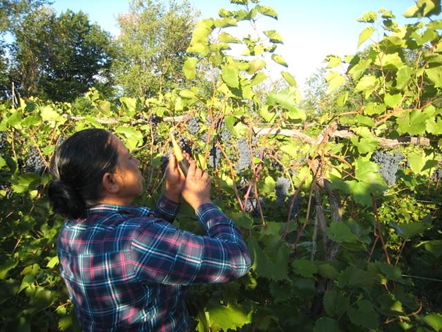 Duk Luitel harvesting grapes - KYMELYA SARI