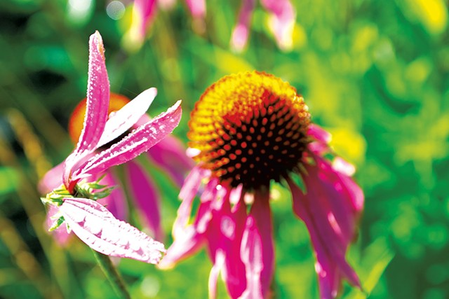 Echinacea - COURTESY OF MISHA M. JOHNSON