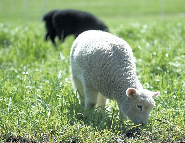 Lambs at Philo Ridge Farm - SUZANNE PODHAIZER