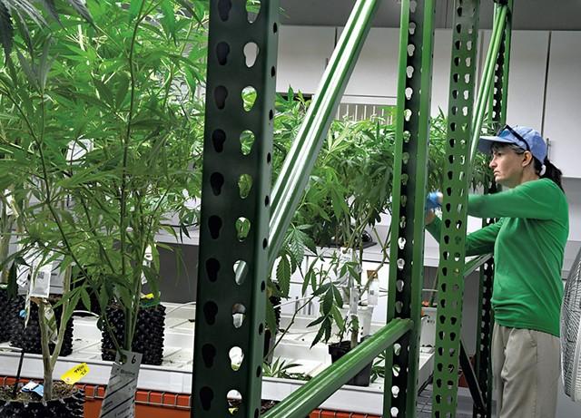 Trimming plants at Champlain Valley Dispensary - LEE KROHN