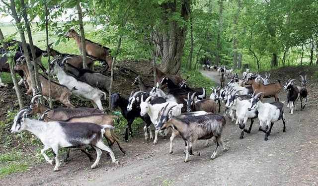 Goats returning to the farm after grazing in the field - JAMES BUCK