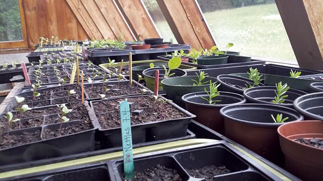 Seedlings in the Applebarn greenhouse - ELIZABETH M. SEYLER