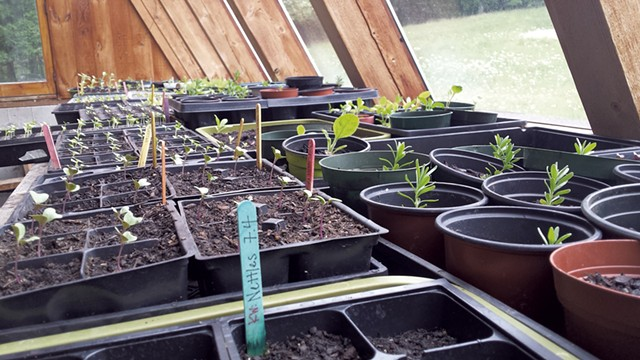 Seedlings in the Applebarn greenhouse - ELIZABETH M. SEYLER