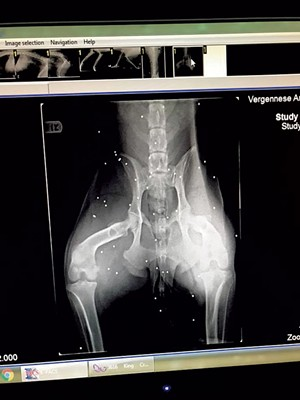 X-ray showing birdshot
