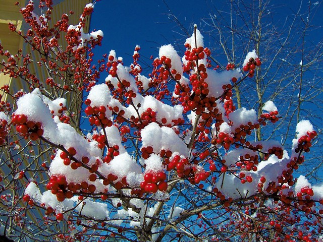 Winterberry - COURTESY OF ROCKY DALE GARDENS