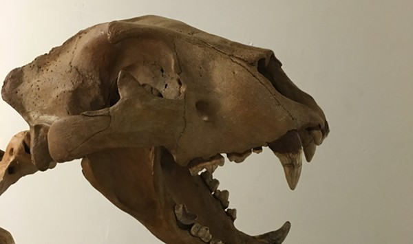 Burlington Artist Assembles a Pleistocene-Era Lion Skeleton