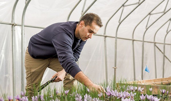 UVM Researchers Tout Growing Saffron in Vermont