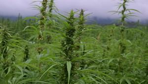 Québec Unveils Marijuana Legalization Plan
