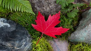 The Parmelee Post: Red Maple Leaf Collapses Under Pressure to Bolster Vermont Economy