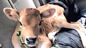 Hot for Heifer: Montpelier Cops Find a Cow in a Car