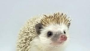 Vermont's Hedgehog Breeders Talk Life on the Hedge