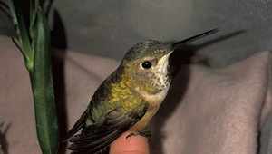 WTF: How Do You Help a Rescued Hummingbird in Winter?
