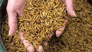 Vermont Mealworm Farm Fuels Plants, Pets and People