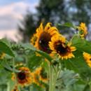 Sunflower House & Gardens