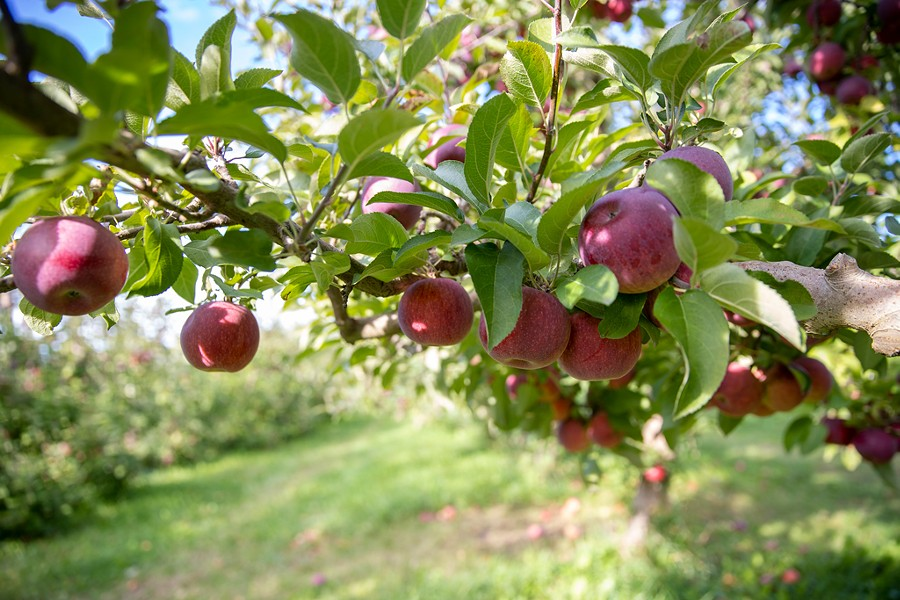 Shelburne Orchards apples - JAMES BUCK