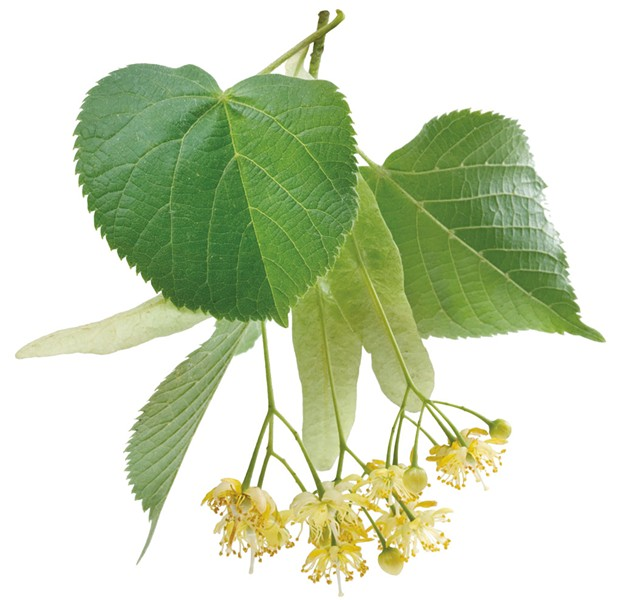 Linden leaves and flowers - DREAMSTIME