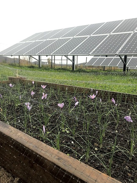 Saffron flowers (in foreground) growing near a solar array - COURTESY OF ARASH GHALEHGOLABBEHBAHANI