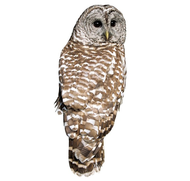Barred owl - © W. SCHLAEGER | DREAMSTIME.COM