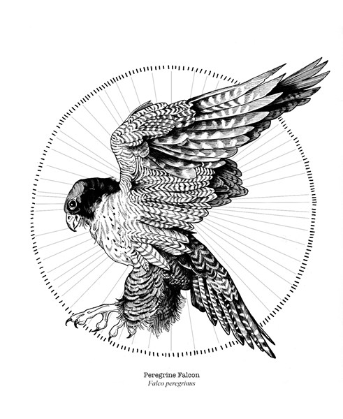 Drawing from Hilary Glass' bird calendar - COURTESY PHOTO