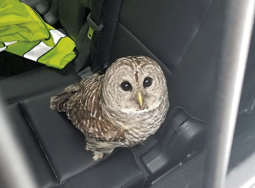 The injured owl - COURTESY OF VERMONT STATE POLICE