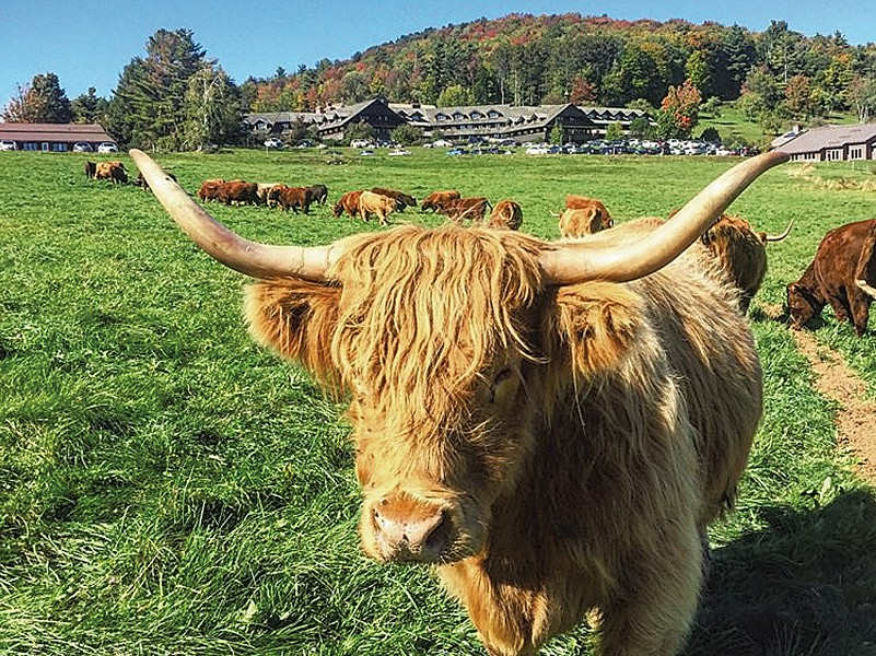 Scottish Highland cattle at Trapp Family Lodge - COURTESY OF TRAPP FAMILY LODGE