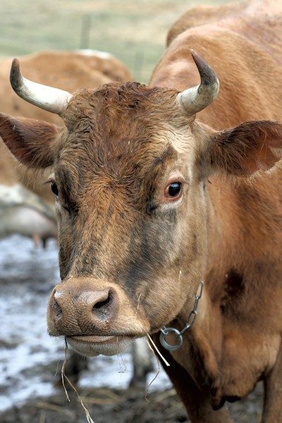 Guernsey cow at Mountain Home Farm in Tunbridge - SUZANNE PODHAIZER
