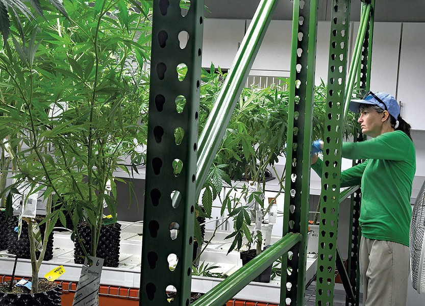 Trimming plants at Champlain Valley Dispensary - LEE KROHN